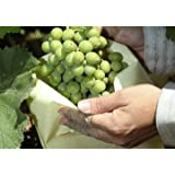 50 Bolsas protectoras para uvas (40 cm x 26 cm)