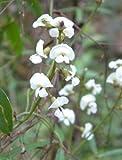 Portal Cool Flor Blanca nativa zarzaparrilla Semilla Frost & tolerante a la sequía Evergreen