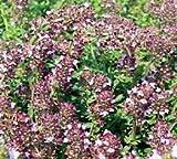 Just Seed Sand-Thymian violett, Thymus serpyllum, 700 Samen