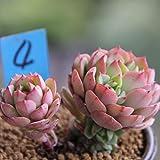 Trendylovers Sukkulenten Samen 30pcs Lithops Pseudotruncatella Samen für Bonsai, Balkon, Haus, Garten(Echeveria'Tramuntana')