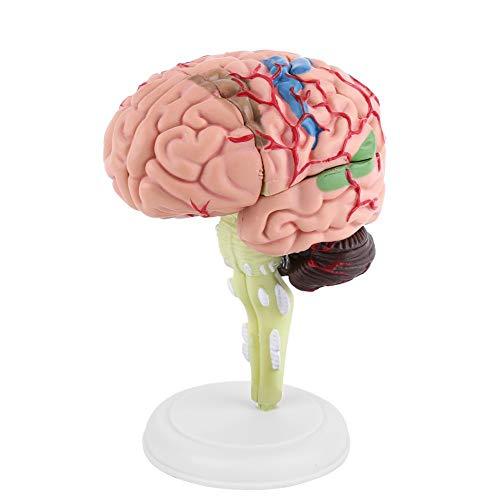 4D Modelo de Cerebro Desmontable Modelo de Anatomía para Enseñanza y Aprendizaje