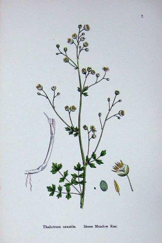 Botanik Pflanzt Wiesenraute Thalictrum-Farbe des Stein-C1902