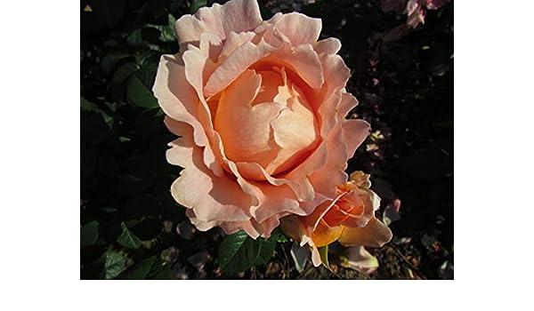 5.5lt Potted Climbing Garden Rose LORD BYRON Large Fragrant Pastel Orange