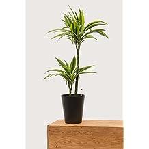 Evrgreen Drachenbaum Lemon Line 80 cm inkl. Topf in anthrazit große pflegeleichte Zimmerpflanze in Hydrokultur wenig Licht Dracaena deremensis 1 Pflanze