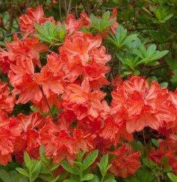 Japanische Azalee Brilliant Orange 25-30cm - Rhododendron obtusum - Zwerg Alpenrose