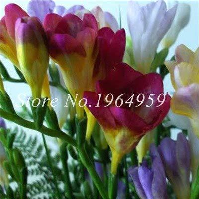 Shopmeeko Graines: Vase spécial coloré Bonsai Fleur Freesia Bonsai Décor rare orchidée Illuminez votre jardin personnel Bonsai 100 Pcs/Sac: 11