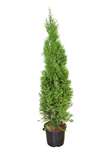 Heckenpaket 23 Stück, Lebensbaum Thuja occidentalis Smaragd, 100-125 cm hoch, 26 cm Topf