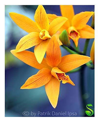 1x Trick or Treat Epidendrum cinnabarinum Hybride Zimmer -