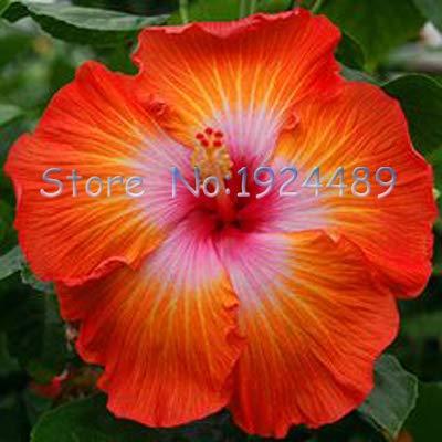 Green Seeds Co. Verschiedene Arten von japanischen Stil Hibiskus Blume DIY Garten und Topfpflanzen einfach zu Blumen 50PCS wachsen