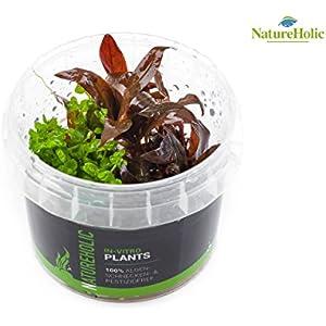[Gesponsert]Alternanthera reineckii Mini & Micranthemum Monte Carlo - NatureHolic In-Vitro Aquarium Pflanze