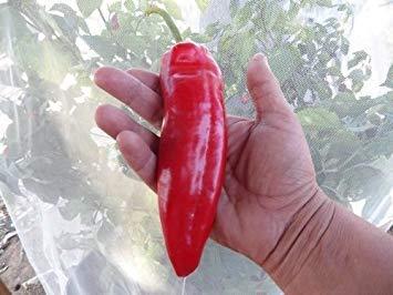 FERRY Keim Seeds: 10 Samen von Stocky Red Roaster Pfeffer Capsicum Annuum Red Roaster