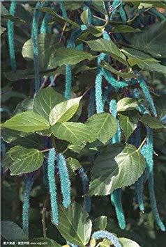 Bonsai Katzenschwänzchen Chenille Pflanze Rot-Hot Cattail Beautiful Home Garten Gras Topf Dekor Ihres Blumentopf Übertopf 100 Stück: 7