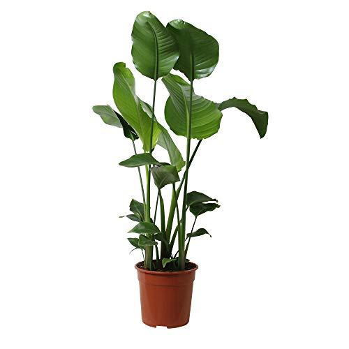 Zimmerpflanze von Botanicly - Paradiesvogelblume - Höhe: 90 cm - Strelitzia Nicolai