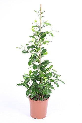 Ficus benjamina 'Nikita' 110 cm Birkenfeige