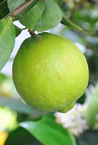 Kaffir Limettenbaum ca Kaffir Limette 70 cm Gärtnerqualität