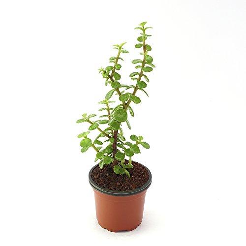 Ugaoo Crassula Green Mini Jade Succulent Feng Shui Plant