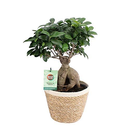 Zimmerbaum von Botanicly - Bonsai mit dekorativem Übertopf als Set - Höhe: 50 cm - Ficus Ginseng