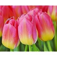 Tulipa Tom Pouce - Tulip Tom Pouce - 5 / Tulipa Tom Pouce - Tulipán Tom Pouce - 5 bulbos