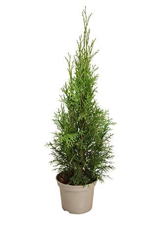 Heckenpaket 10 Stück, Lebensbaum Thuja occidentalis Smaragd, 50-70 cm hoch, 17 cm Topf