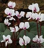 Frühlings Alpenveilchen Silver Leaf Album - Cyclamen coum