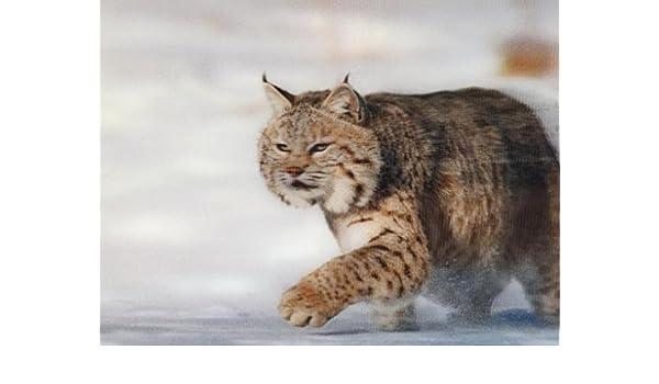 in the snow 3D Postcard Bobcat Lenticular Greeting Card