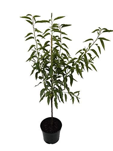 Müllers Grüner Garten Shop Mandelbaum Pfälzer Fruchtmandel Palatina Buschbaum 120-150 cm im 7,5 Liter Topf Unterlage INRA 2