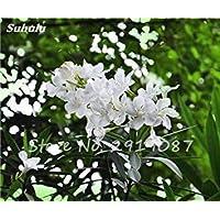 VISTARIC 11 20 Pz Bonsai Fiori Amaranthus Tricolour Semi Poinsettia Amaranto Tasso Di