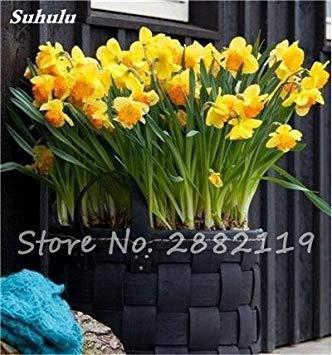 100 Pcs freesia Graines Bonsai Fleurs orchidée Belle Freesia rhizome bulbeux Fleurs Mix Couleurs So Parfumée pour la décoration de jardin 11