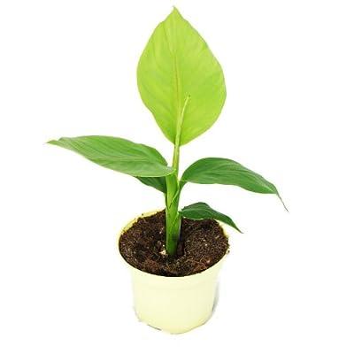 Musa basjoo - Winterharte Banane von Landgard Blu-Blumen *LA bei Du und dein Garten