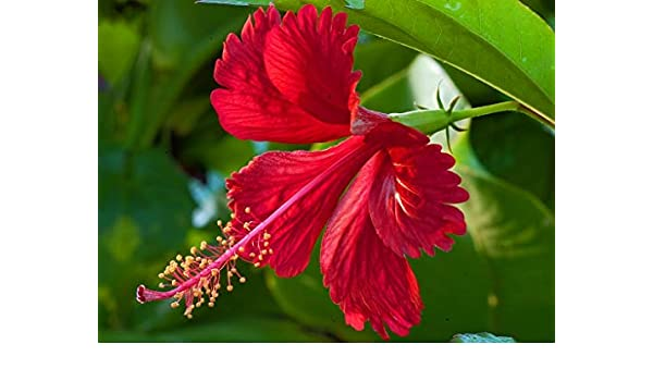 Rookhraj Paudhshala Gudhal Red Flower Live Plant Hibiscus Rosa