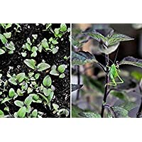 VIRTUE Holy Basil Seeds, Red Leaf,Native To India, Known As Tulsi, Organic Herb !(500 Seeds)