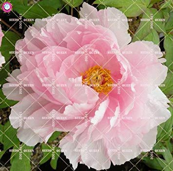 10 pcs Double Blooms Pivoine Seeds Heirloom Seeds Sorbet robuste Pivoine rouge Bonsai Pot de fleurs Arbre pivoine Jardin Graines Plante 1