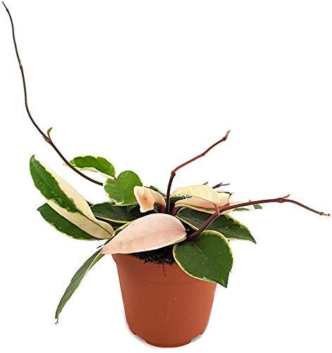 Fangblatt - Hoya carnosa