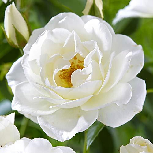 Rosa'Climbing Schneewittchen' | Fleurs blanches | Rosiers grimpant d'extérieur | Hauteur 22cm