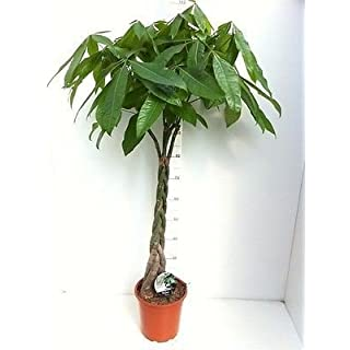 Pachira aquatica plant with a plaited stem. Guiana Chestnut Tree. 110cm tall