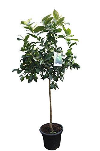 Citrus Aurantifolia, echte Limette,Limettenbaum 150/170cm