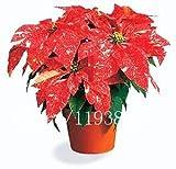 100 PC calientes / bolso Semillas Poinsettia Diy plantas en macetas de interior / al aire libre Semillas maceta de flores germinación tipo del 95% Inicio Bonsai reloj