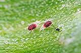 Spider mite killer-large pack (2000)