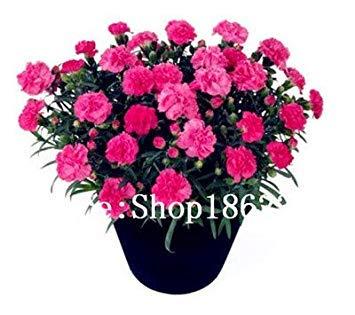 . 200 pc garofano bonsai dei semi semi di fiore in vaso balcone giardino perenne fiori dianthus caryophyllus piante purificano l'aria: 12