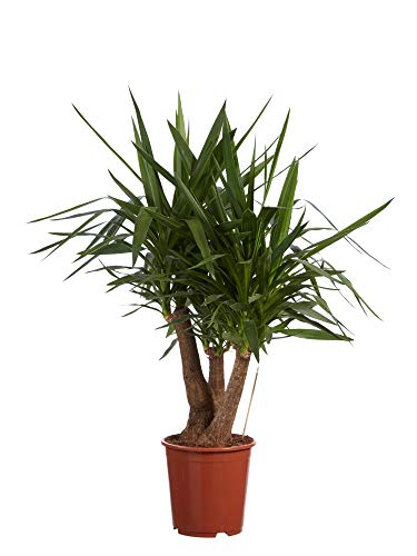 BOTANICLY | Zimmerpflanze | Yucca elephantipes | 130 cm