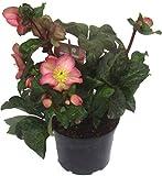 Helleborus 'Cheryl's Shine ' rosa Christrosen Schneerose oder Nieswurz 19 cm Topf winterblühend, winterharte Pflanze