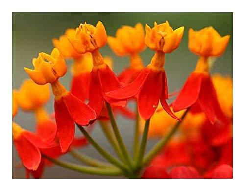 Asclepias curassavica - Indianer-Seidenpflanze - 10 Samen