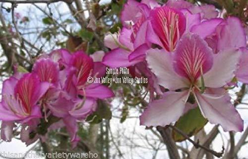 PLAT FIRM GRAINES DE Germination: 20 Samen: Bauhinia purpurea Lila Orchideen-Baum-Samen! SpektakulÀre BlÌTe Einfach Kleiner Baum