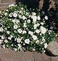 Bodend.Rose 'Aspirin-Rose' -R- ADR-Rose im 4 L Container von Rosen-Union eG. - Du und dein Garten