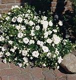 'Aspirin-Rose' -R-, Kleinstrauchrose in A-Qualität Wurzelware, ADR-Rose