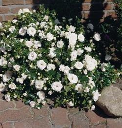Bodend.Rose 'Aspirin-Rose' -R- ADR-Rose, A-Qualität Wurzelware (Bodendecker Rosen)