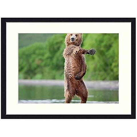 Dancing Bear–Legno Massello Cornice Stampa Artistica (50,8x 35,6cm)