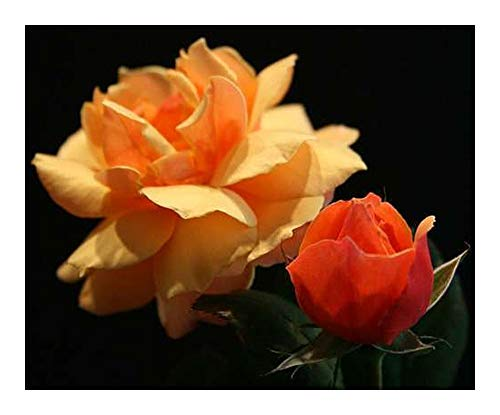 Rose orange - 10 graines