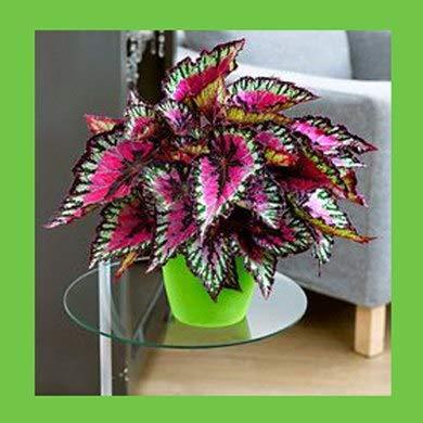 Pinkdose 100 pezzi semi Begonia, semi di fiori in vaso, piante begonia per mini giardino, varietà completa, l'erba tasso del 95%, (colori misti): 3