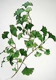 3 Ginkgo Zweige künstlich. Länge 60cm. 3 Stück